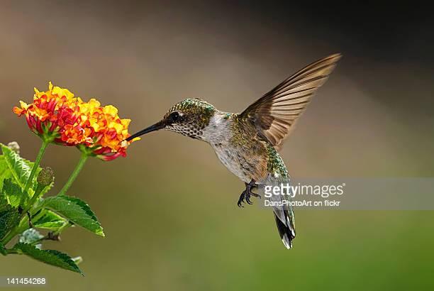 hummingbird feeding on lantana - beija flor imagens e fotografias de stock