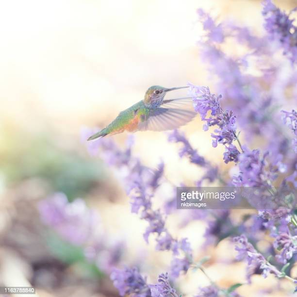 hummingbird feeding on purple sage flowers in the garden - purple rain stock pictures, royalty-free photos & images