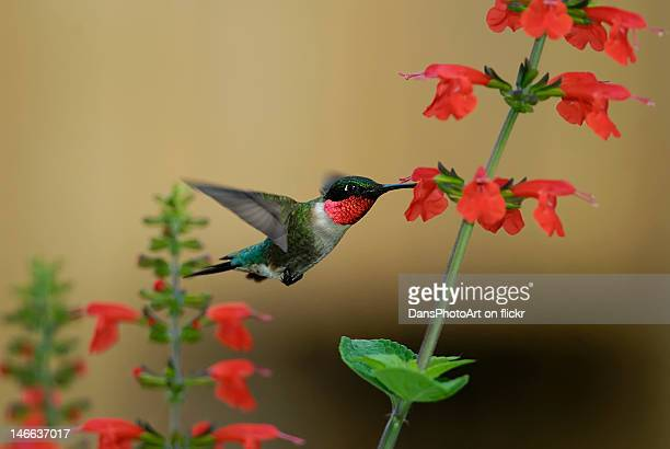 Hummingbird feeding on red salvia