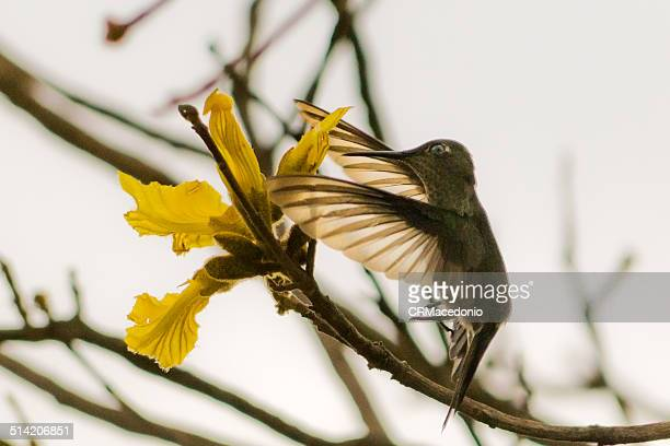 hummingbird feeding on the nectar of the flower of - crmacedonio foto e immagini stock