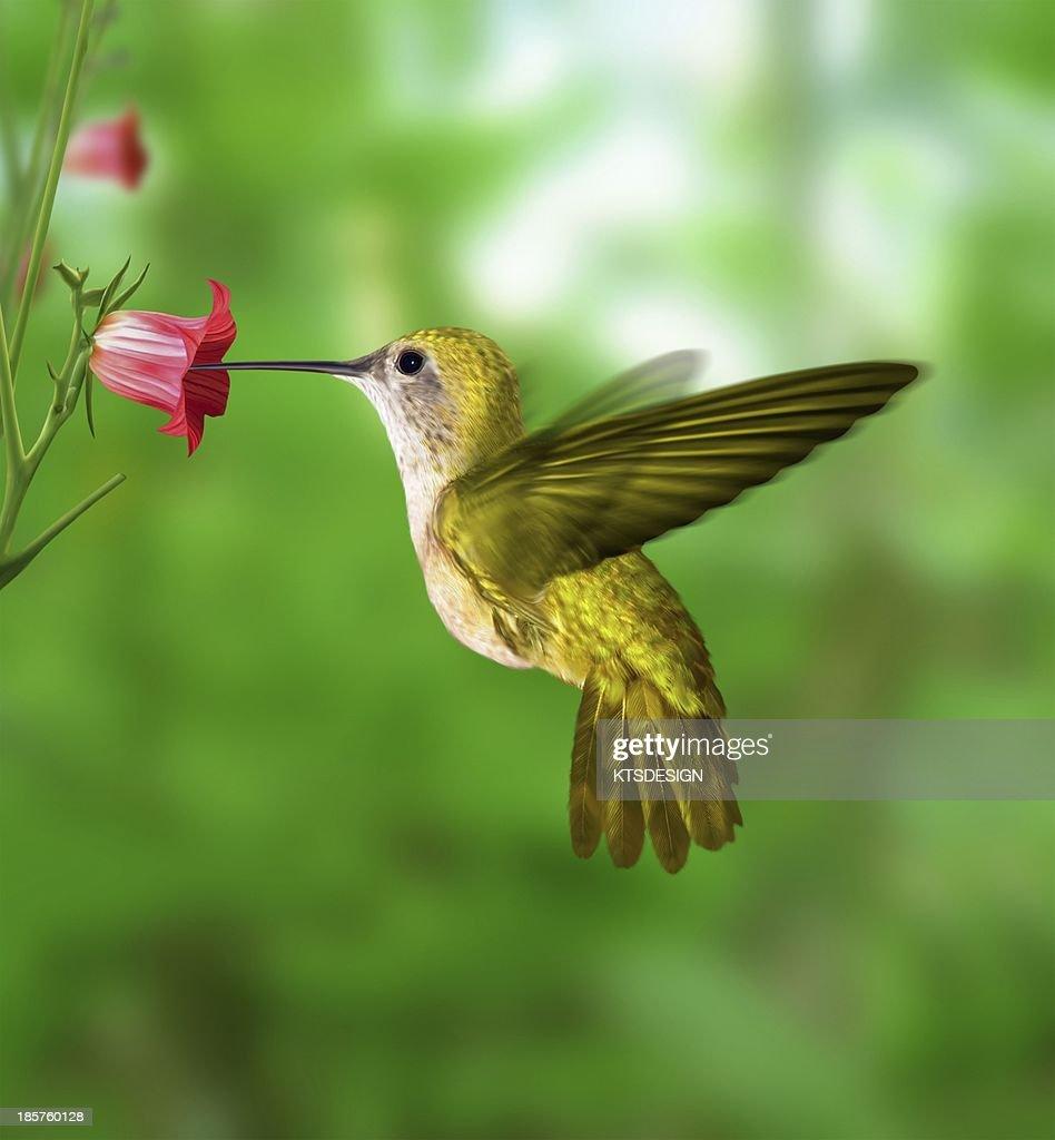 Hummingbird feeding : Foto de stock