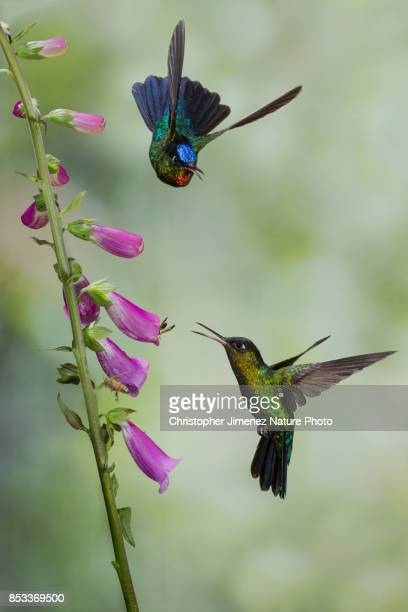 hummingbird fighting in flight - christopher jimenez nature photo stock pictures, royalty-free photos & images