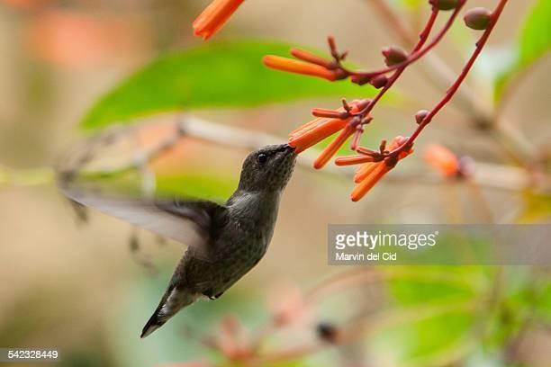 Hummingbird flying and eating