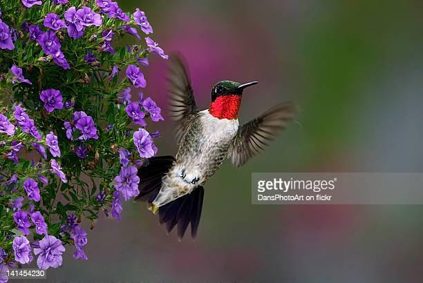 Hummingbird flying in garden
