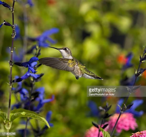 Hummingbird Flying in the Garden_RGB7345
