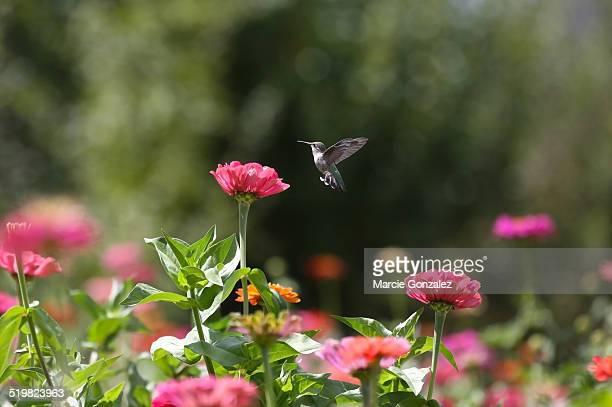 Hummingbird Flying Over Zinnias