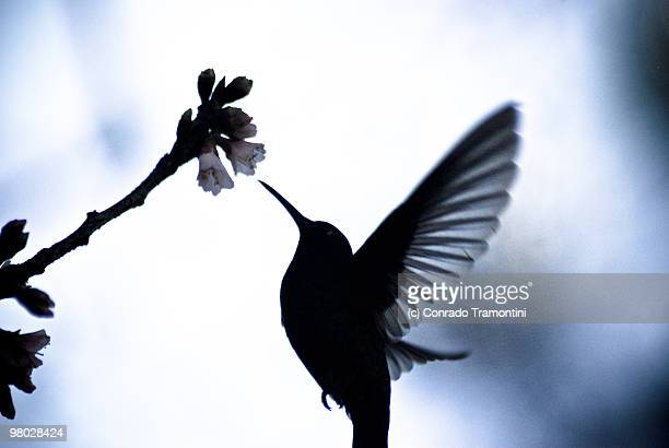 Hummingbird flying to feeds on a cherry