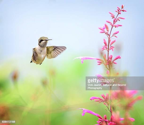 Hummingbird flying toward a Pink Flower