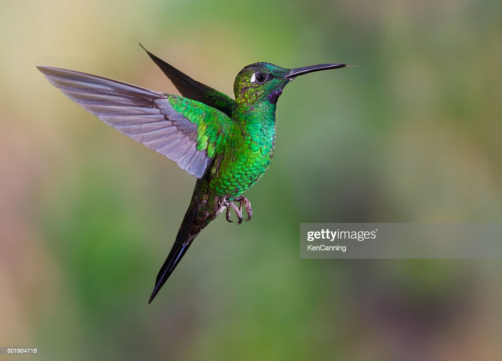 Hummingbird , Green-crowned Brilliant : Stock Photo