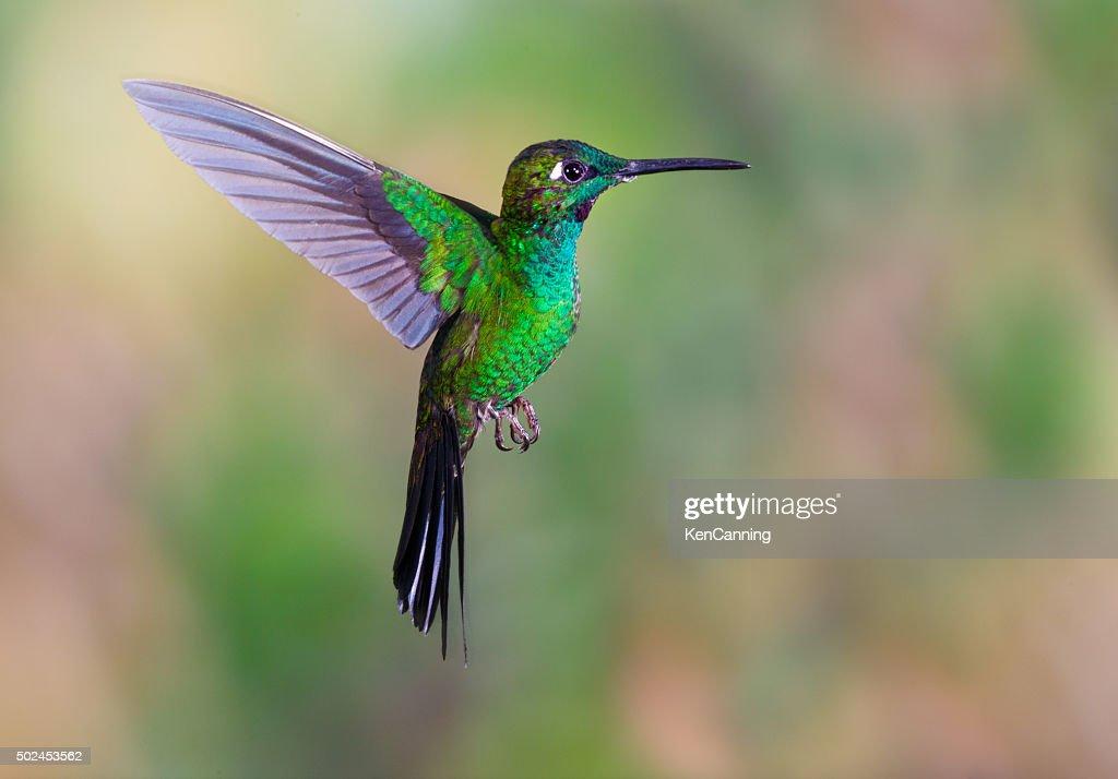 Hummingbird , Green-crowned Brilliant : Stock Photo