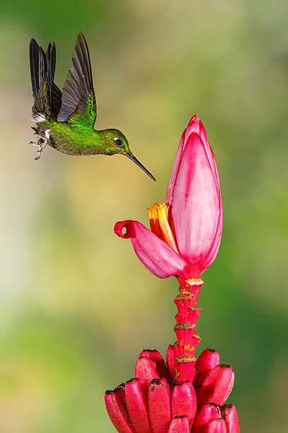 Hummingbird , Green-crowned Brilliant Wall Art
