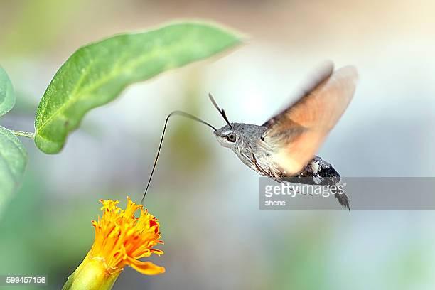 Hummingbird Hawk Moth by Side View