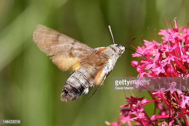 hummingbird hawk-moth and Macroglossum stellatarum