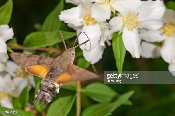 Hummingbird hawk-moth (Macroglossum stellatarum) approaching a Spirea (Spiraea) flower, Baden-Wuerttemberg, Germany