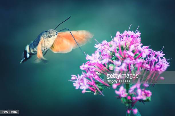 Hummingbird Hawk-moth butterfly sphinx insect flying on red valerian pink flowers in summer