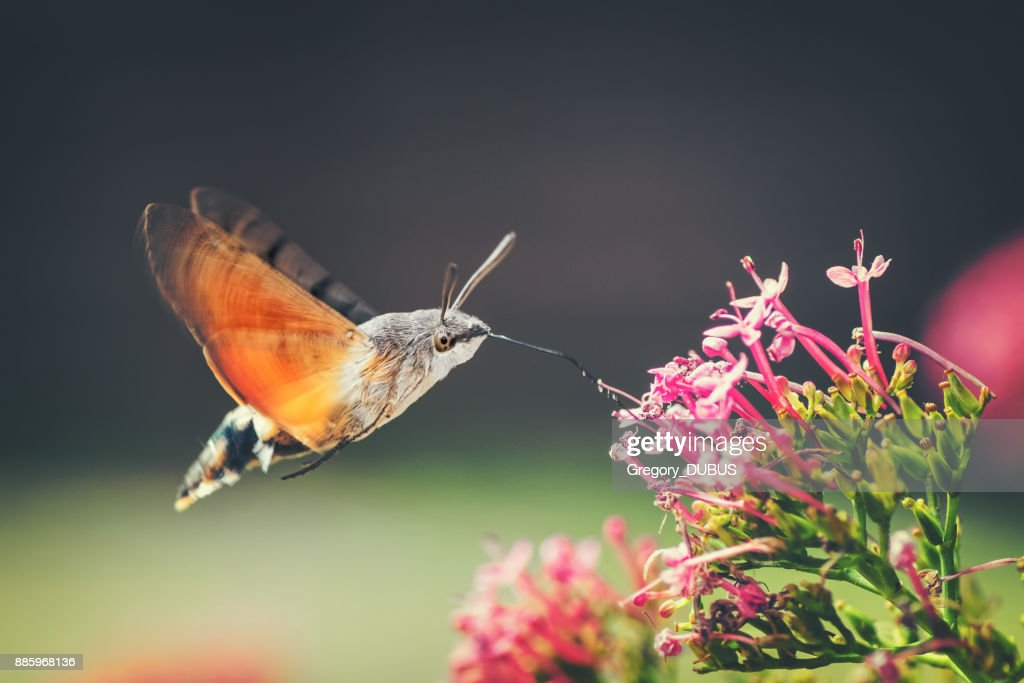 Hummingbird Hawk-moth butterfly sphinx insect flying on red valerian pink flowers in summer : Stock Photo