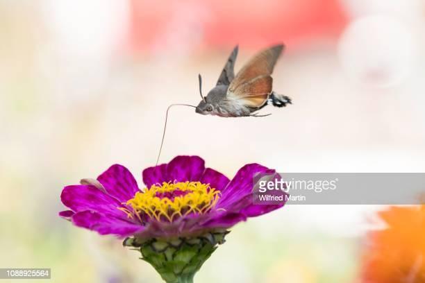 Hummingbird hawk-moth (Macroglossum stellatarum), ingesting in flight, at Zinnia blossom (Zinnia elegans), Hesse, Germany