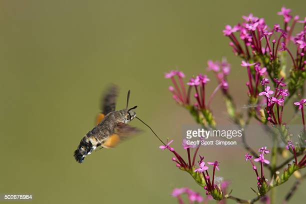 Hummingbird Hawk-moth, Macroglossum stellatarum