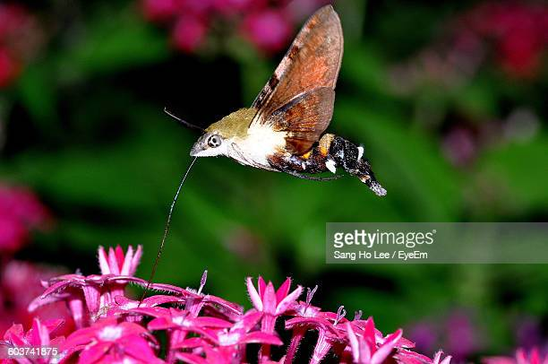 Hummingbird Hawkmoth Pollinating On Pink Flower