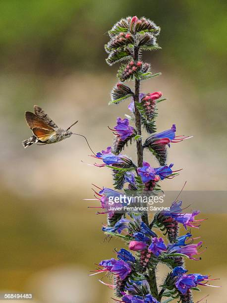 Hummingbird hawk-moth sipping viper's-bugloss