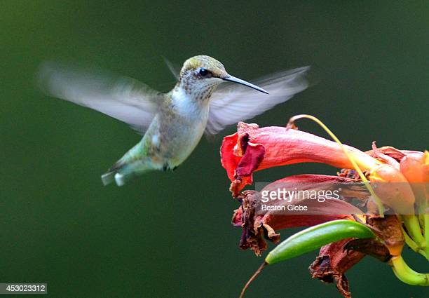 A hummingbird hovers above the flowers of a trumpet vine in a Pembroke Mass back yard where the nectar attracts bees as well