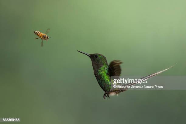 hummingbird in flight and a bee - christopher jimenez nature photo stock pictures, royalty-free photos & images