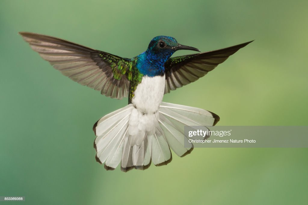 Hummingbird in flight extending his white tail : Stock-Foto
