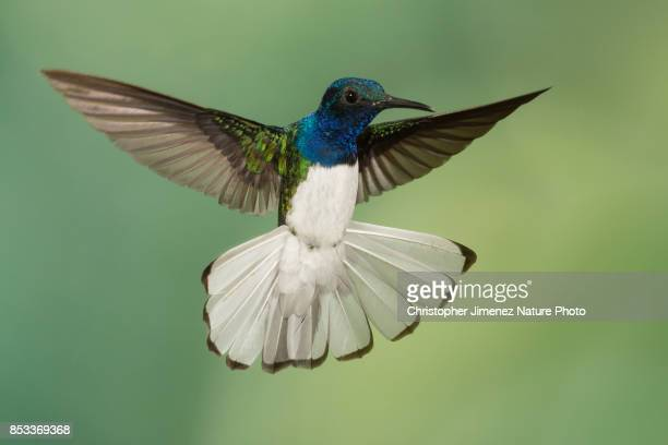 hummingbird in flight extending his white tail - oiseau tropical photos et images de collection