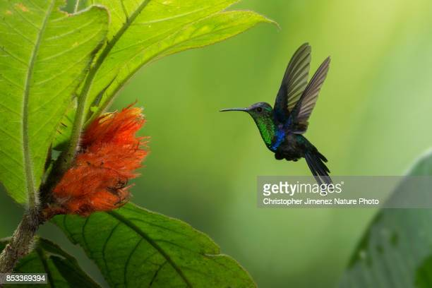 hummingbird in flight feeding from flowers - christopher jimenez nature photo stock pictures, royalty-free photos & images