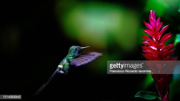 hummingbird in flight feeding on tropical flower - iacomino costa rica foto e immagini stock
