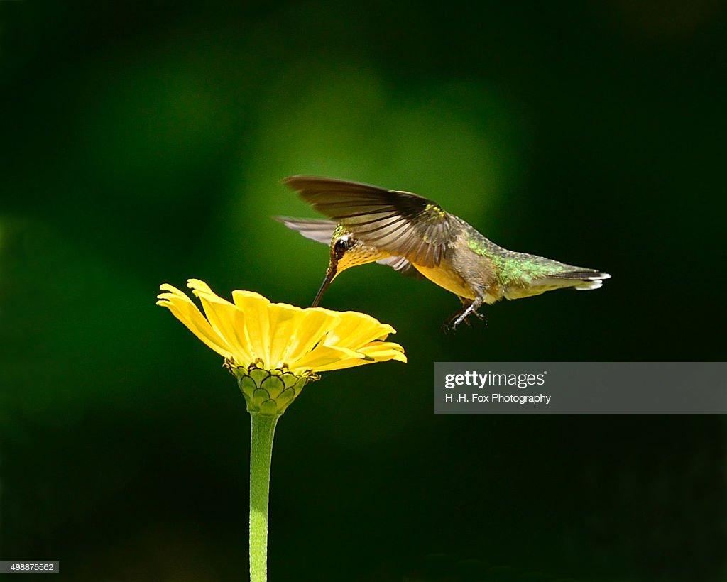 Hummingbird in flight : Stock Photo