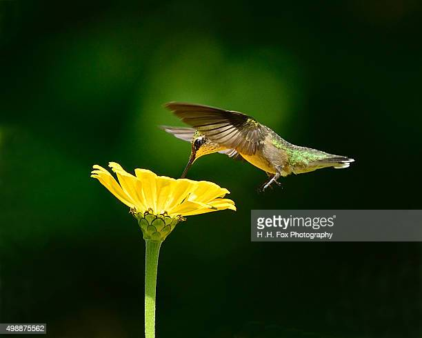 hummingbird in flight - beija flor imagens e fotografias de stock