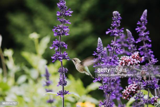 hummingbird in flight - vanessa lassin foto e immagini stock