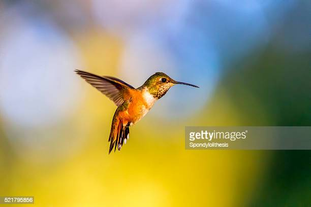 beija-flor no parque dourado gate, são francisco - beija flor imagens e fotografias de stock