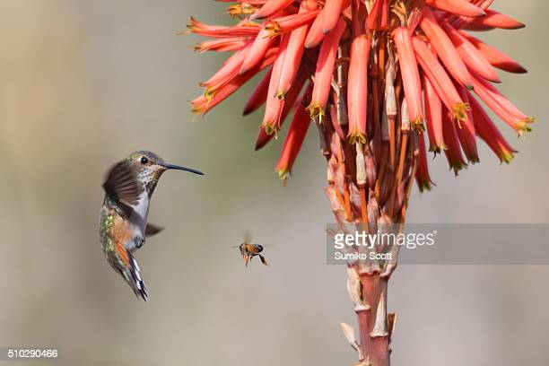 Hummingbird meet with honeybee near aloe vera flower