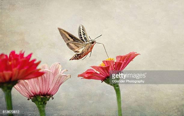 Hummingbird Moth Flight