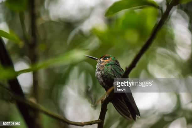 hummingbird on a branch - perching stock photos and pictures