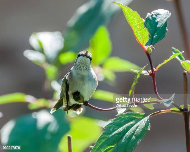 hummingbird on  a branch - bittersweet berry stock photos and pictures