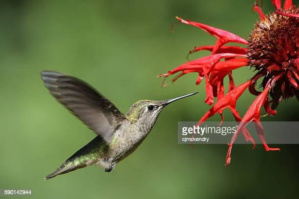 Hummingbird on Bee Balm