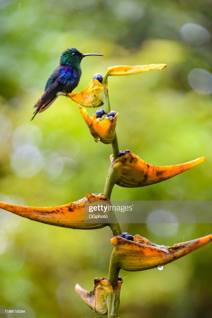 Hummingbird on tropical flower : Stock Photo