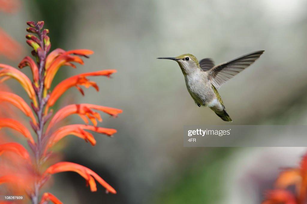 Kolibri : Stock-Foto