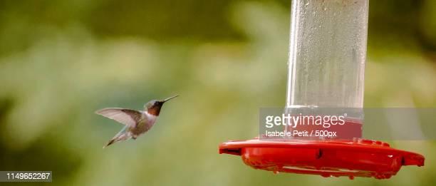 hummingbird - braunschwanzamazilie stock-fotos und bilder