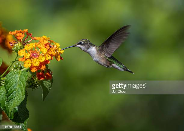 hummingbird - hummingbird stock pictures, royalty-free photos & images