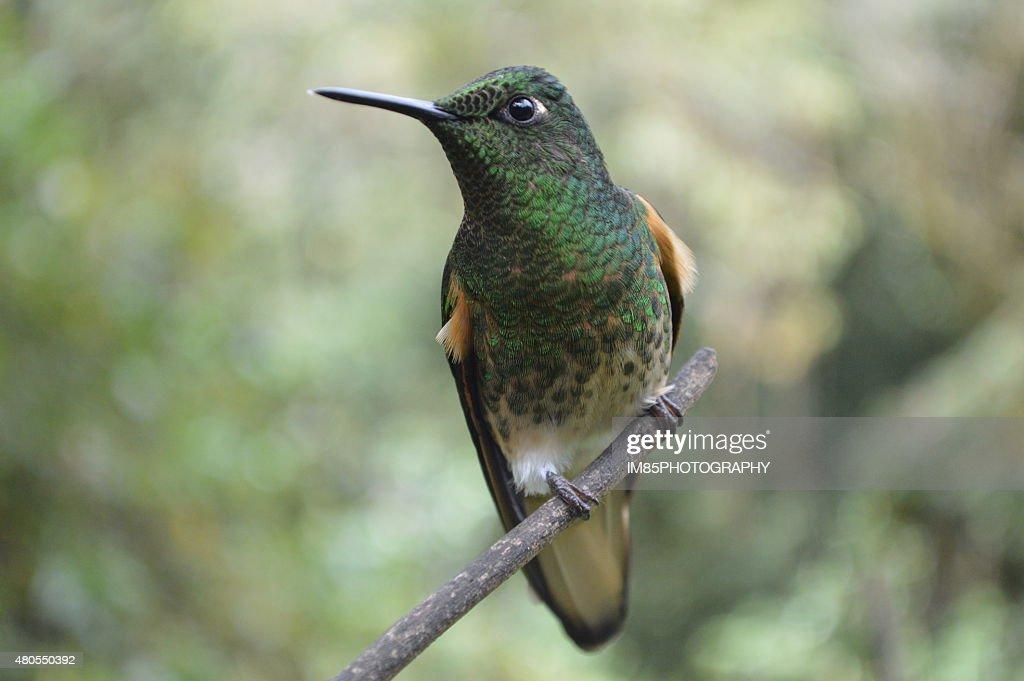 Beija-flor : Foto de stock