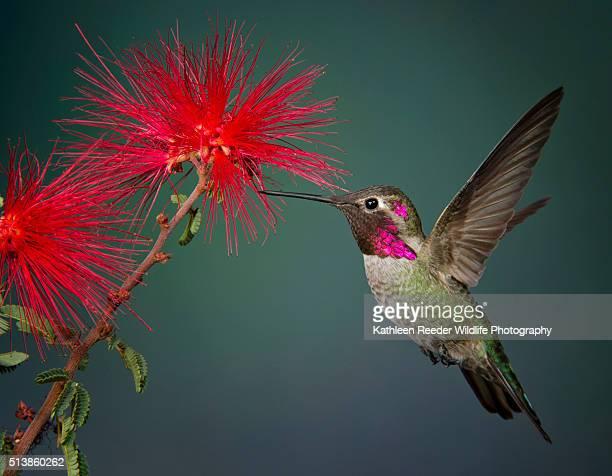 hummingbird - beija flor imagens e fotografias de stock