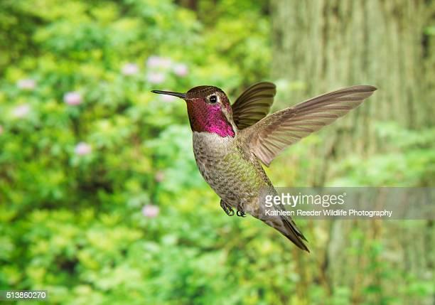 hummingbird - anna's hummingbird stock pictures, royalty-free photos & images