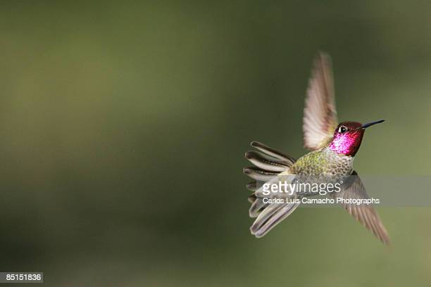 hummingbird - agility stock pictures, royalty-free photos & images