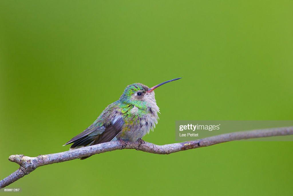 Hummingbird : Stock-Foto