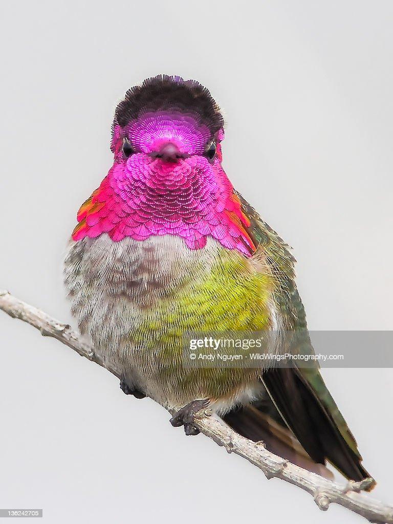 Hummingbird portrait : Stock-Foto