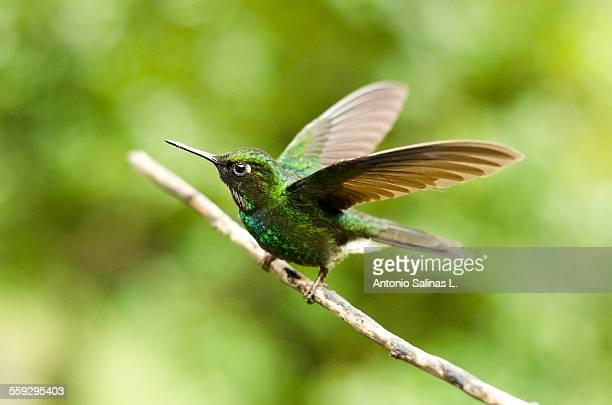 A hummingbird ready to fly